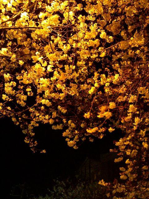 オレンジ色の街灯に照らし出された桜