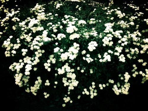 夜に咲く白い花