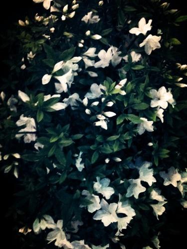 夜に咲く白い、少し大きな花